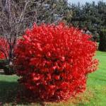 Декоративные кустарники - Каталог растений