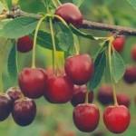 Плодовые деревья и кустарники - Каталог растений