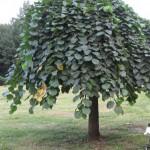 Лиственные декоративные деревья - Каталог растений