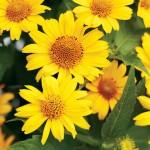 Многолетние цветы - Каталог растений