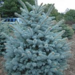 Хвойники - Каталог растений