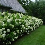 Растения для живой изгороди - Каталог растений