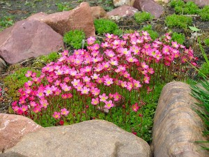 Камнеломка Аренса - сад из камней