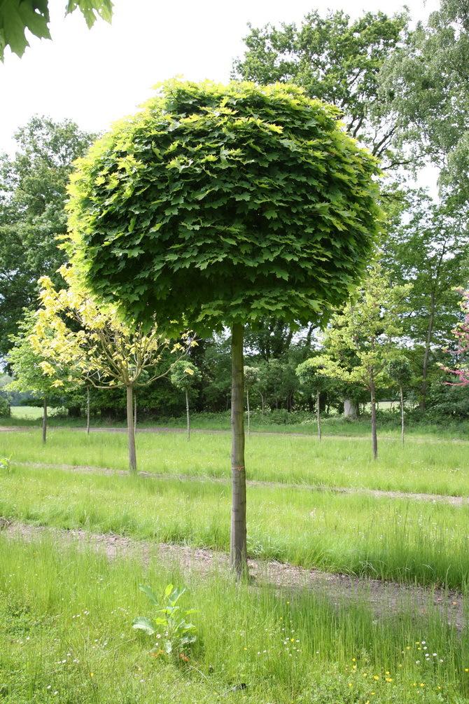 начал декоративные лиственные деревья для сада фото с названиями узнать, как