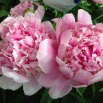 Коллекция пионов - Каталог растений