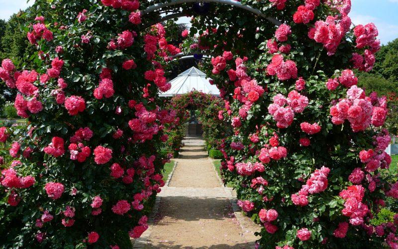Арка из роз