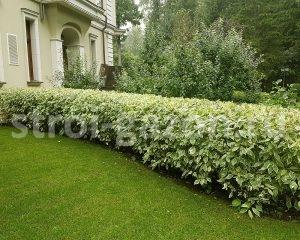 Озеленение участка - Живая изгородь из дерена