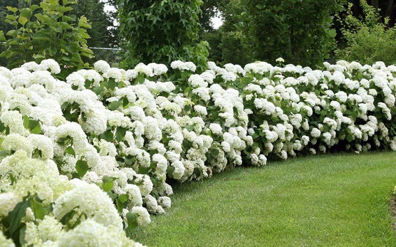 Озеленение - Посадка живой изгороди