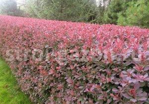 Живая изгородь из барбариса - Посадка живой изгороди