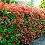 Посадка живой изгороди - Живая изгородь из черноплодной рябины