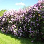 Посадка живой изгороди - Живая изгородь из Сирени