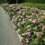 Посадка живой изгороди - Живая изгородь из шиповника