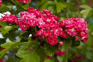 Боярышник Паул Скарлет - живая изгородь из боярышника