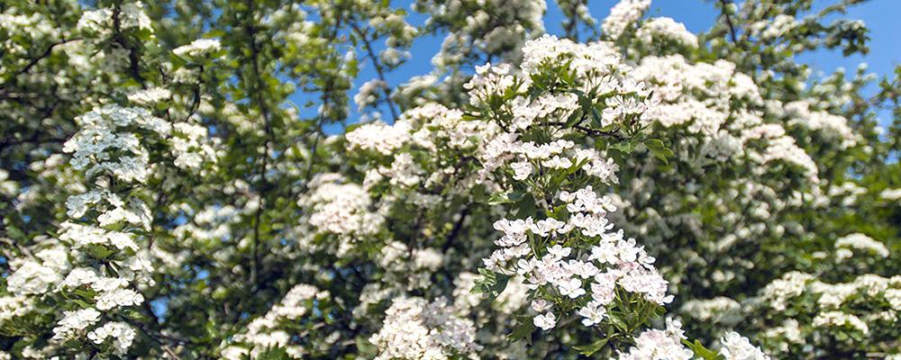 Цветение боярышника - Живая изгородь из боярышника