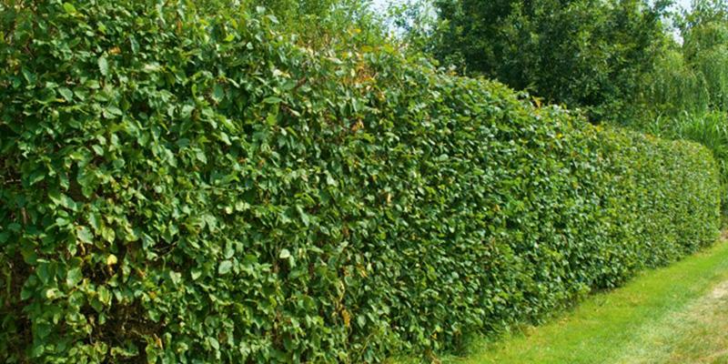 Формованная живая изгородь - Живая изгородь из боярышника