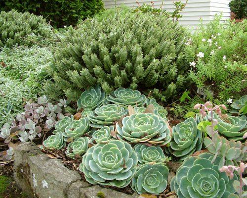 """Растения для рокария - Студия ландшафтного дизайна """"Строй-Газон"""""""