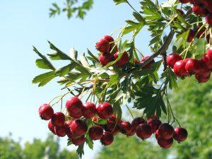 Боярышник плодовый - Живая изгородь из боярышника