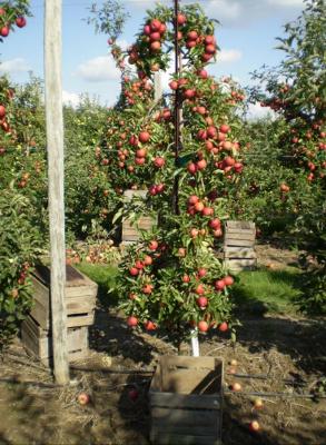 Посадка яблоневого сада