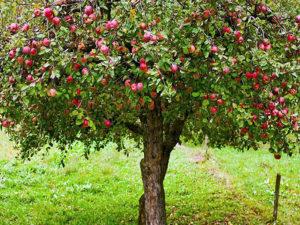 Плодовое дерево - Посадка сада на участке