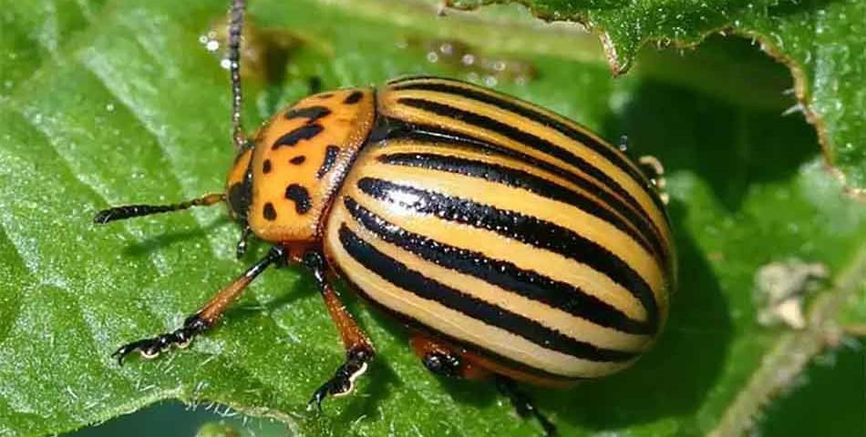 Как избавиться от колорадского жука? - подскажет Студия ландшафтного дизайна Строй-Газон