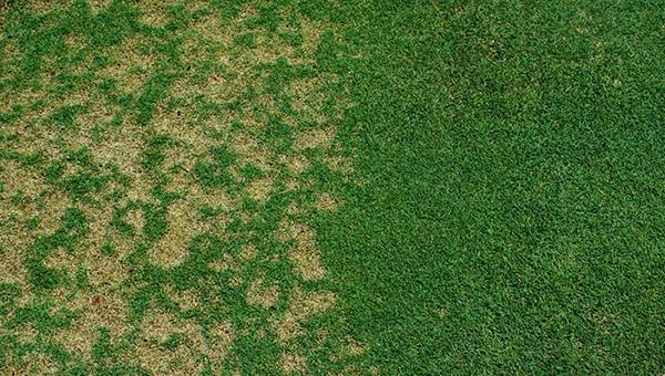 Болезни газона - Долларовая пятнистость (склеротиниоз)