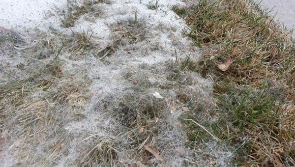Болезни газона - Фузариоз или снежная плесень