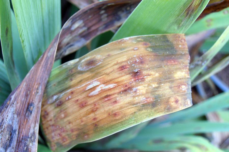Гетероспориоз (листовая пятнистость) - Как лечить Гетероспориоз?
