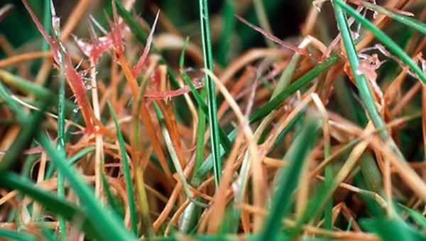 Болезни газона - Красная нитевидность
