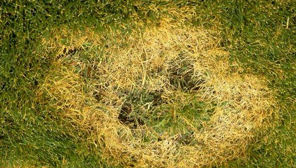 Болезни газона - Ризоктониоз