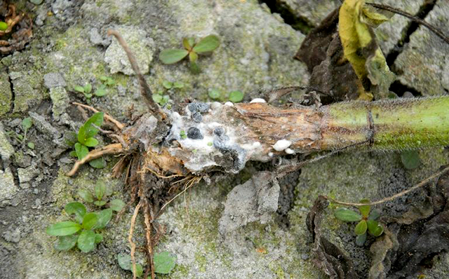 Мокрая белая гниль - Склеротиниоз