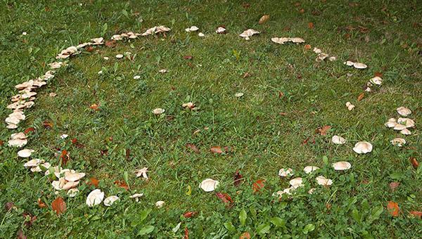 Болезни газона - Ведьмины кольца