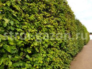 Живые изгороди - Ландшафтный дизайн загородного дома