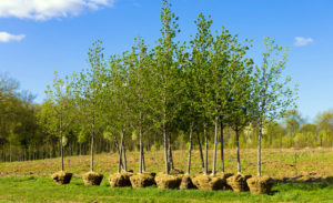 Посадка лиственных и хвойных деревьев осенью